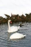 Duas cisnes na água Fotos de Stock Royalty Free