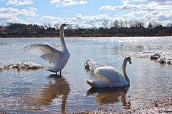 Duas cisnes na mola Fotos de Stock Royalty Free