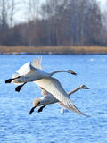 Duas cisnes na mola adiantada Fotografia de Stock