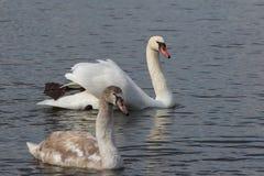 Duas cisnes na natação do lago fotos de stock