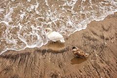 Duas cisnes na praia no inverno Fotografia de Stock