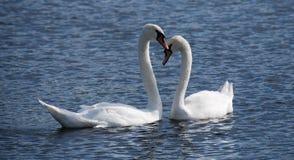 Duas cisnes na serpentina Fotos de Stock Royalty Free