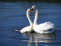 duas cisnes no amor Fotografia de Stock Royalty Free