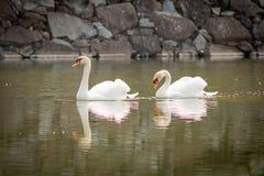Duas cisnes no fosso do castelo de Matsumoto Imagens de Stock Royalty Free
