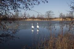 Duas cisnes no lago Imagens de Stock Royalty Free