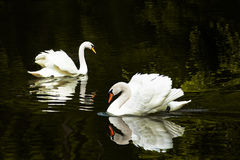 Duas cisnes no lago Fotos de Stock Royalty Free