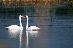 Duas cisnes no lago azul como no bailado de Tchaikovsky Foto de Stock Royalty Free