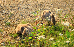 Duas cisnes pequenas Imagem de Stock