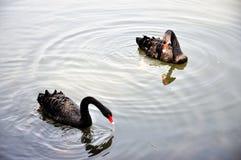 Duas cisnes pretas Imagem de Stock