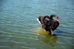 Duas cisnes pretas enfeitam-se suas penas no banco de areia Fotos de Stock Royalty Free