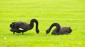 Duas cisnes pretas na grama verde Imagens de Stock Royalty Free