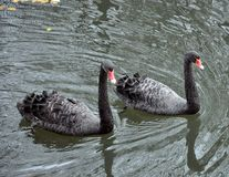Duas cisnes pretas que flutuam no lago foto de stock royalty free