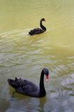 Duas cisnes pretas que nadam Imagem de Stock