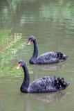 Duas cisnes pretas que nadam no lago no parque, Itália Fotos de Stock