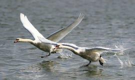 Duas cisnes que correm na água para decolam Fotos de Stock