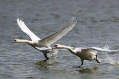 Duas cisnes que correm na água para decolam Fotografia de Stock Royalty Free