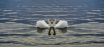 Duas cisnes que fazem um coração Fotografia de Stock Royalty Free