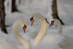 Duas cisnes que formam um coração com seus pescoços foto de stock