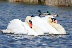 Duas cisnes que nadam Fotografia de Stock