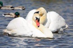 Duas cisnes que nadam Imagem de Stock