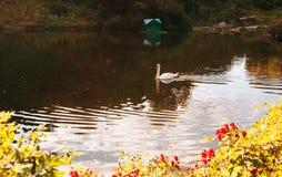 Duas cisnes que nadam fotografia de stock royalty free