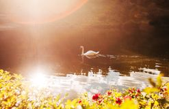 Duas cisnes que nadam foto de stock royalty free