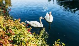 Duas cisnes que nadam imagem de stock royalty free