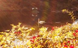 Duas cisnes que nadam imagens de stock