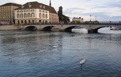 Duas cisnes que nadam Imagens de Stock Royalty Free