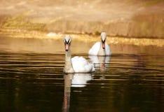 Duas cisnes que nadam na lagoa na luz dourada do por do sol Fotos de Stock