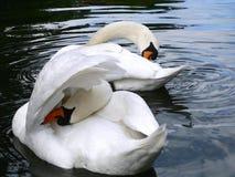 Duas cisnes que preening Imagens de Stock