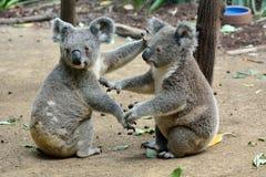 Duas coalas na terra fotos de stock