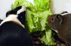 duas cobaias bonitas que comem verdes frescos fotografia de stock royalty free