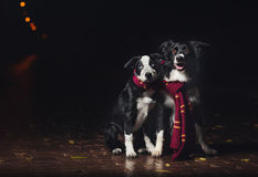Duas collies de beira dos cães Fotos de Stock Royalty Free