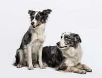 Duas collies de beira que sentam-se e que encontram-se Fotografia de Stock Royalty Free