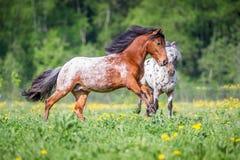 Duas corridas dos pôneis do appaloosa no prado no verão Imagens de Stock
