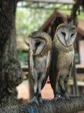Duas corujas em uma vara estão olhando a câmera Fotografia de Stock