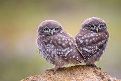 Duas corujas pequenas novas que sentam-se na pedra em um fundo bonito Fotografia de Stock