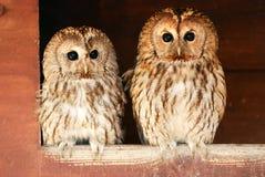 Duas corujas tawny Imagens de Stock Royalty Free