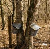 Duas cubetas na árvore de bordo que recolhe a seiva fotos de stock