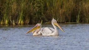 Duas espécies diferentes de pelicanos Foto de Stock Royalty Free