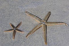 Duas estrelas de mar (estrela do mar) Fotografia de Stock