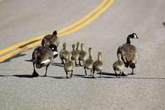 Duas famílias de gansos de Canadá andam abaixo de uma estrada fotografia de stock royalty free