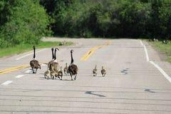 Duas famílias de gansos de Canadá andam abaixo de uma estrada fotos de stock royalty free