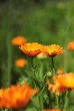 Duas flores alaranjadas do cravo-de-defunto Imagem de Stock Royalty Free