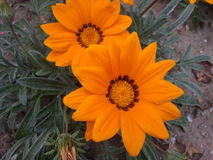 Duas flores alaranjadas grandes Foto de Stock