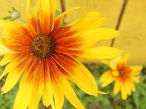 Duas flores amarelas foto de stock royalty free