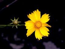 Duas flores amarelas fotografia de stock royalty free