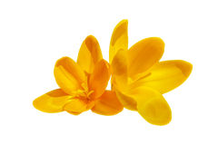 Duas flores amarelas do açafrão isoladas Fotografia de Stock