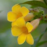 Duas flores amarelas macro Fotos de Stock